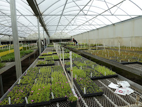 Photo: The AG3 nursery in Eustis (Florida). All plants are produced by tissue culture.