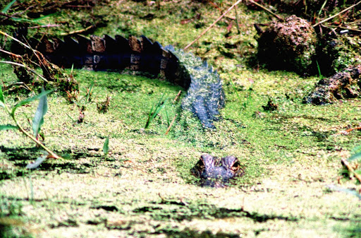 An alligator lurks in the murky mossy waters of the Merritt Island National Wildlife Refuge at Kennedy Space Center.