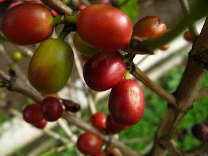 Photo: Caféier au Costa Rica