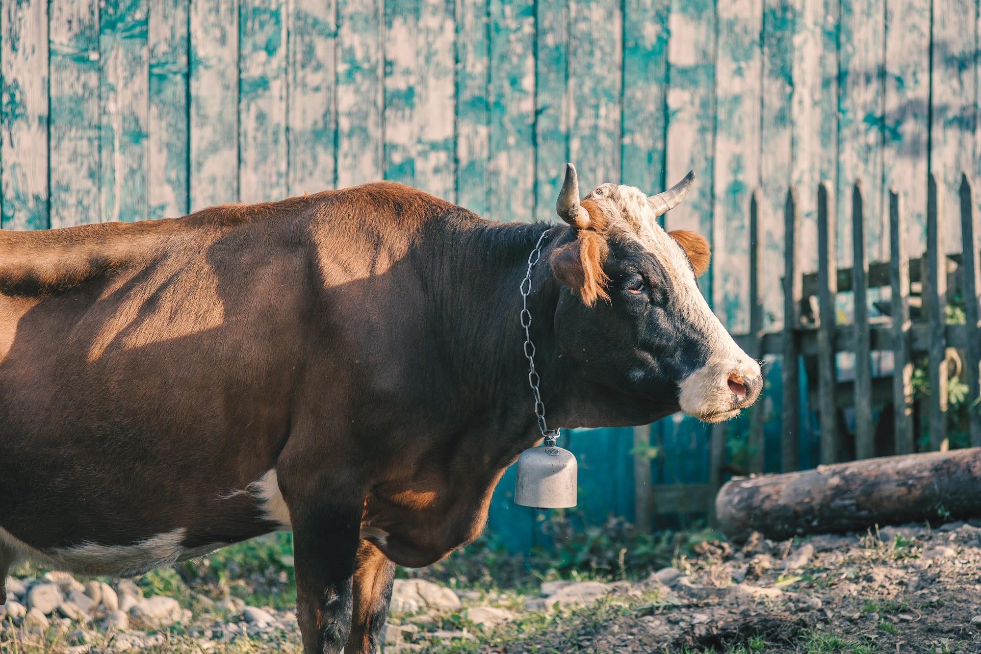 Корова в с.Красник