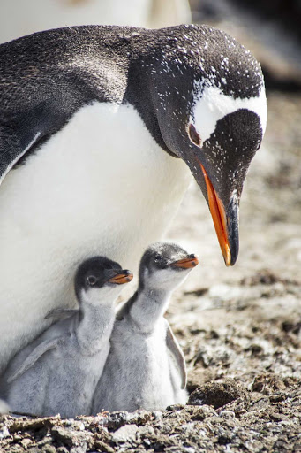 Ponant-Argentina-penguin-young.jpg - A penguin checking on her chicks, seen on a Ponant cruise.
