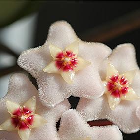 Velvety Hoyas by Lee Newman - Flowers Flower Gardens ( macro, pink, flowers, velvet, soft,  )