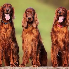 Meet the Boy's by Ken Jarvis - Animals - Dogs Portraits ( dogs, irish setter, irish, portraits )