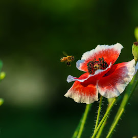 A poppy with a bee hovering over it.  by Nepali Kiran Pandit - Flowers Single Flower ( spring, bee, poppy, sauraha, flower )