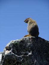 Photo: Hoary Marmot