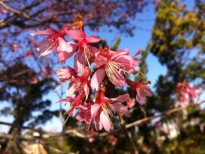 Photo: Cherry blossom time! This beauty is Prunus campanulata 'Okame'