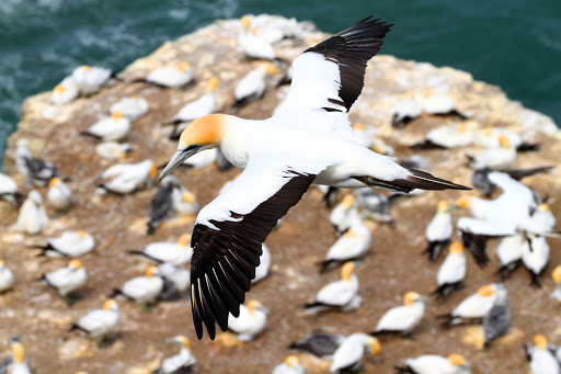 Ponant-New-Zealand-Muriwai-gannet.jpg - Visit Muriwai, New Zealand, to see a colony of gannets on a Ponant cruise.
