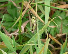Photo: Common Green Grasshopper