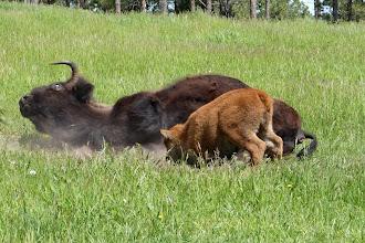 Photo: 07/06/2013 - Bear Country Park, Rapid City, South Dakota - Buffalo / Bison Mother and Calf...
