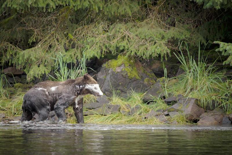See bears in their natural habitat on Chichagof Island, Alaska.