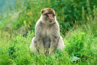 Photo: Barbary Macaque