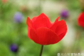Photo: 拍攝地點: 梅峰-溫帶花卉區 拍攝植物: 白頭翁 拍攝日期: 2015_11_13_FY