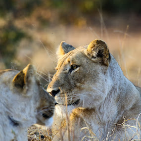 Lion and her cub by Angie Birmingham - Animals Lions, Tigers & Big Cats ( lion, lioness, south africa, kruger, cub )