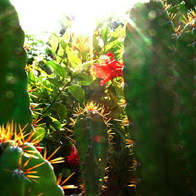 Cactus by Michelle Sim - Nature Up Close Other plants ( outdoor, thorns, flare, sun, cactus )