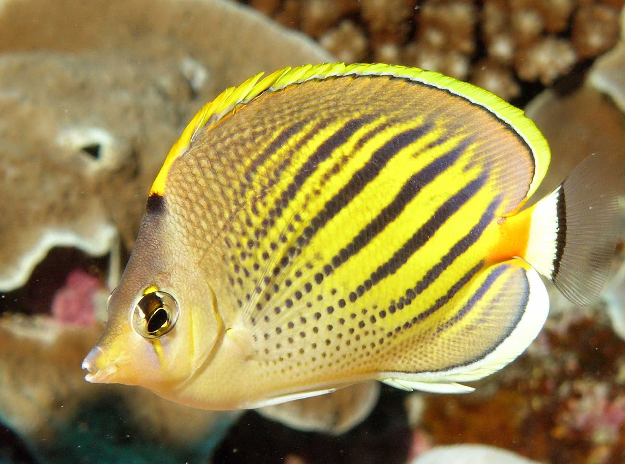 The spot-banded butterfly fish is found in the coral-rich reefs of Tahiti.