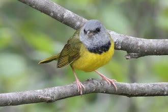 Photo: Mourning Warbler