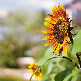 Summer, stay, please... by Mony Fifinková - Flowers Flower Gardens ( natural light, vintage, green, beautiful, sunflower, yellow, bokeh, summer flower, yellow flower, sun, yashinon dx, sky, nature, blue, summer, sony a77m2, garden, flower )
