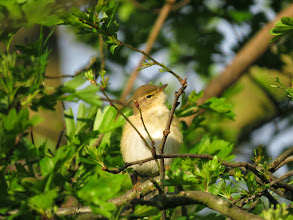 """Photo: Priorslee Flash """"a penny for your thoughts"""": a Willow Warbler surveys its surroundings. The reddish-coloured legs are shown here. (Ed Wilson)"""