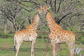 Photo: Giraffes