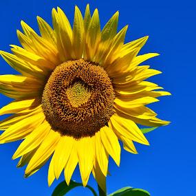 Sončnica 1 by Bojan Kolman - Flowers Single Flower (  )