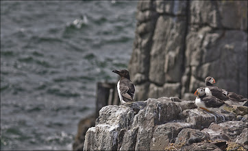 Photo: Bird N°33  Razorbill - Alca torda Another bird I was lucky to catch, since it's palls had all left the Farne Islands when I visited in mid July. The Razorbill is in the centre of the image, if your thinking it looks similar to theGuillemot and the Puffin (two of which sneaked into the frame) you'd be right because they are related all being members of the Alcidae (Auk) family.  Description The Razorbill has white underparts and a black head, neck, back and feet during breeding season. A thin white line also extends from the eyes to the end of the bill. During the nonbreeding season, the throat and face behind the eye become white, and the white line on the face becomes less prominent. The thick black bill has a blunt end. It is large for an alcid and its mean weight ranges from 17.8 to 31 oz. The female and male adults are very much alike, having only small differences such as wing length. The wing length of adult males ranges from 7.9–8.5 inches while that of females ranges from 7.9 to 8.4 inches.  Behaviour During breeding, both male and female protect the nest. Females select their mate and will often encourage competition between males before choosing a partner. Once a male is chosen, the pair will stay together for life. Individuals only breed at 4–5 years of age. As pairs grow older they will occasionally skip a year of breeding. A mating pair will court several times during breeding periods to strengthen their bond. Courtship displays include touching bills and following one another in elaborate flight patterns. Once the pre-laying period begins, males will constantly guard their mates by knocking other males away with their bills. The pair will mate up to 80 times in a 30 day period to ensure fertilization. Females will sometimes encourage other males to engage in copulation to guarantee successful fecundity. Throughout the pre-laying period Razorbills will socialize in large numbers. There are two types of socializing that occur. Large groups will di