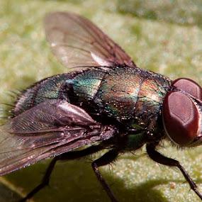 Housefly by Soyam Chhatrapati - Animals Other ( macro art, macro, micro, macro photography, fly )