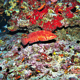 by Phil Bear - Animals Fish ( grouper, reef, coral, hind, fish, coral reef, maldives )