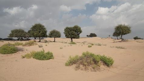 Ghaf-Bäume in einer Standühne