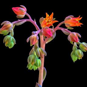 Fireworks by Mark Ritter - Flowers Single Flower ( floral, macro, beautiful, nature, closeup, flora, garden, flower )