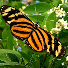 Isabella's longwing