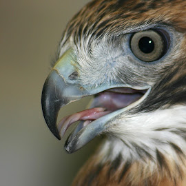 Red-tailed Hawk by Bill Diller - Animals Birds ( close-up, raptor, red-tailed hawk, birds of prey, michigan, nature, bird of prey, bird, birds, hawk )
