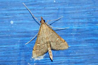 Photo: Dolicharthria punctalis  Lepidoptera > Crambidae