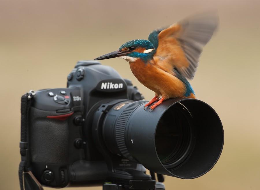 Kingfishers prefer Nikon by Øyvind Håvarstein-Hustoft - Animals Birds