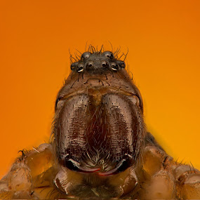 Spider Big Daddy by AhMet özKan - Animals Insects & Spiders ( canon, wild, invertebrate, macro, spider, stack, teeth, eyes )