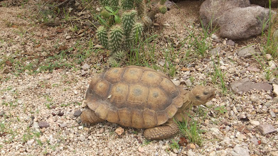 Photo: Desert tortoise at the museum.