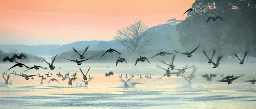 Geese-Over-Water.jpg - Watch the geese rise from Chesapeake Bay early in the morning on an American Cruise Lines trip.