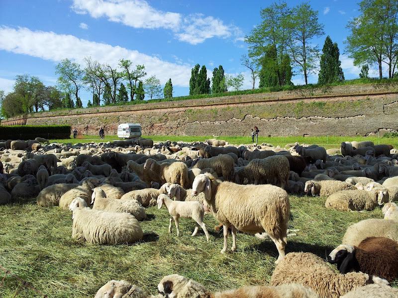 Pecore in città di joysphoto