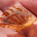 Little Wing Pearl Shell