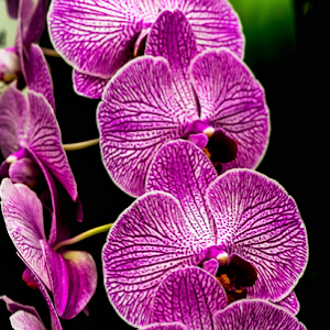 4912.jpg Orchid Apr-15-4912 (3).jpg
