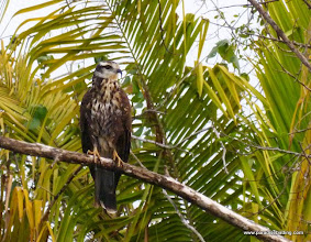 Photo: Snail Kite; La Tovara boat ride