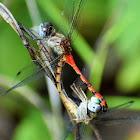 Blue-faced Meadowhawk dragonflies (mating pair)