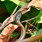 Indo-Chinese Rat Snake (Non-Venomous)
