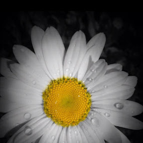 Daisy  by Diane Beique-Jacques - Flowers Single Flower (  )