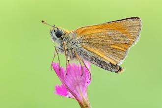 Photo: Hespérie de la houque, Small Skipper, Thymelicus sylvestris  https://www.facebook.com/macro.photography.butterfly