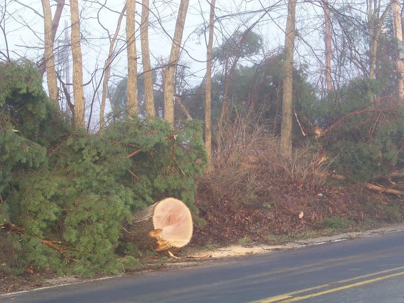Photo: This tree blocked Dexter-Pinckney Road last night. It's 3 feet thru the trunk.