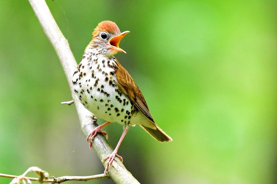 Little bird by Ruth Overmyer - Animals Birds (  )
