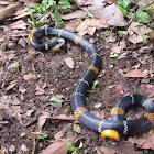 Hemprichi's Coral Snake