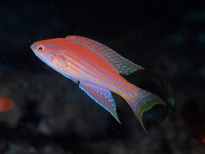 Photo: Sharp-Finned Flasher Wrasse male - Paracheilinus angulatus - (with fins spread, but not displaying) - Bethlehem, 60 ft.