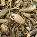 Chondrula munita