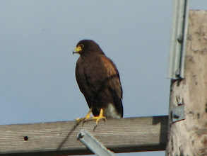 Photo: Harris' Hawk